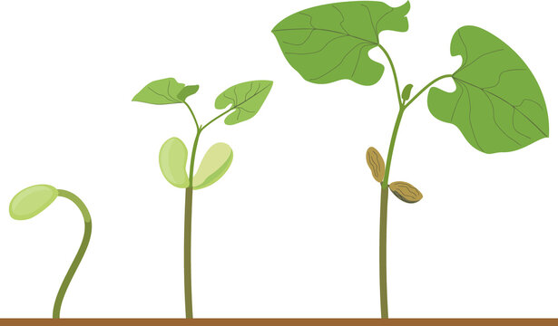 Life cycle of bean plant. Growth stages from seeding to young plant isolated on white background