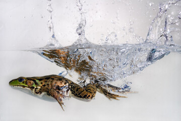 Green frog jumping and splashing into water