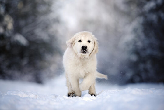 golden retriever puppy running in the snow outdoors, close up