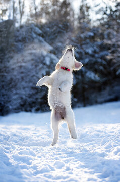 happy puppy jumps up in the winter snow
