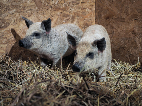 Piglets with long hair. Purebred pigs mangalica