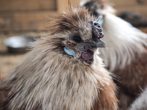 Unusual fluffy chicken. Rooster breed Chinese silk. Portrait