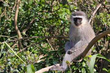 Printed kitchen splashbacks Monkey Vervet Monkey Sitting Relaxed In A Tree (Chlorocebus pygerythrus), Mossel Bay, South Africa