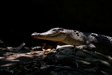 close up picture of crocodile with black background