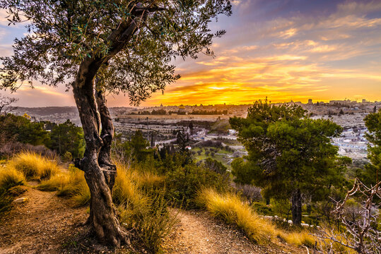 Beautiful sunset view of Jerusalem's Old City landmarks: Temple Mount with Dome of the Rock, Golden Gate and Mount Zion in the distance; with olive tree on Mount of Olives
