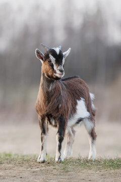 Miniature goat yeanling walking outdoors