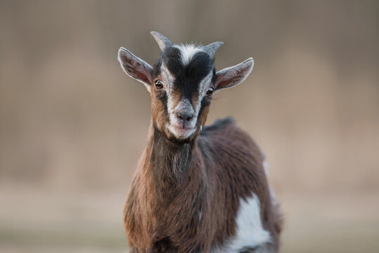 Portrait of miniature goat yeanling outdoors
