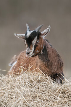 Miniature goat yeanling eating hay outdoors