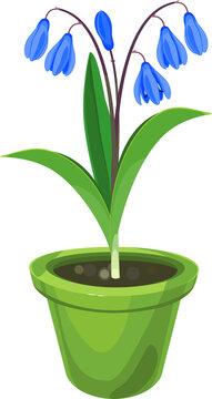 Siberian squill or Scilla siberica plant with blue flowers and green leaves in pot isolated on white background