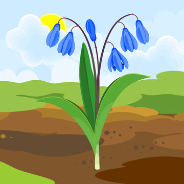 Blooming Siberian squill or Scilla siberica plant with blue flowers and green leaves growing from the ground on background of spring landscape