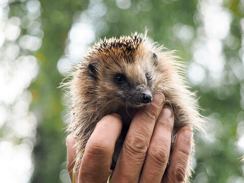 Hedgehog in the hands of a man. The interaction of human and animal