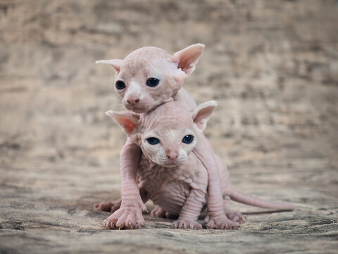 Little naked kitten Sphinx. Portrait of a thoroughbred cat