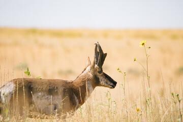 antelope on antelope island Utah