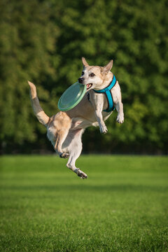Dog in flight catches a frisbee disc in the air