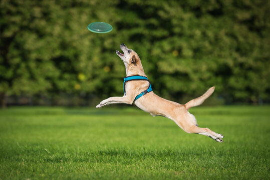 Dog in flight catches a frisbee disc in the airDog in flight catches a frisbee disc in the air