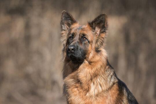 Head of German shepherd breed dog