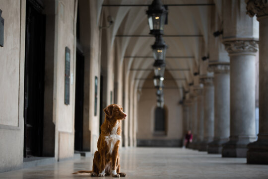 dog in the gallery of the cloth The old city, the center of Krakow, history, architecture. Nova Scotia Duck Tolling Retriever, Toller
