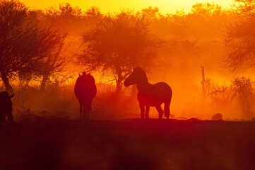 Silhouettes of Burchells zebras at sunset