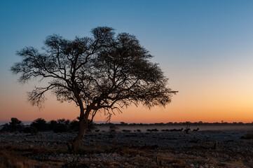 Photo sur Plexiglas Bleu jean Silhouettes of Burchells zebras walking past large tree at sunset