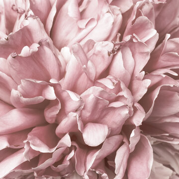 Beautiful peony pink flower bud macro petals for natural wallpaper with vintage effect