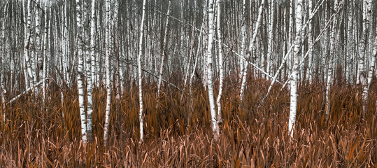 natural background, white birch trees in yellow autumn grass.