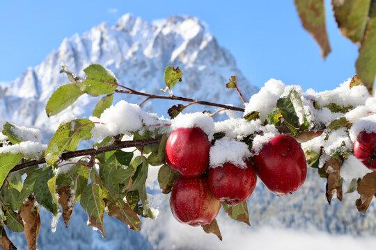 Südtiroler Apfelbaum mit Äpfeln im Schnee