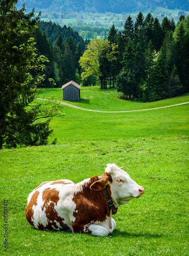 Wall mural nice cow