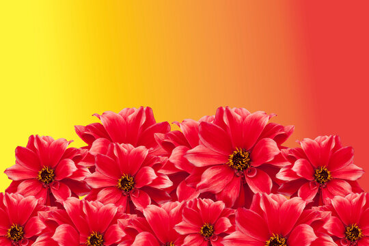 Red Dahlia flowers isolated on a bright yellow and orange sunny background