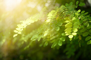 Wall Mural - Acacia Tree with Green Young Leaves in fabulous garden on mysterious fairy Spring or Summer sunny background with sun light beam and fresh foliage, fantasy amazing Nature dreamy scene