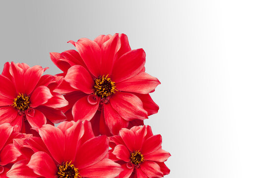 Red dahlia isolated on grey background