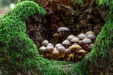 Mushrooms False honey fungus on a stump in a beautiful autumn forest.group fungus in autumn forest with leaves.Wild mushroom on the spruce stump. Autumn time in the forest.
