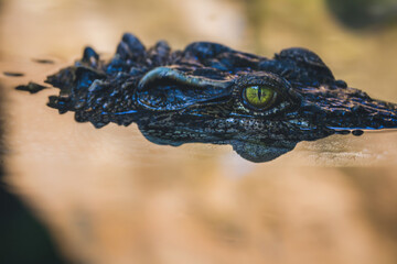 Close up - crocodile or alligator eyes, Crocodiles camouflaged in nature.