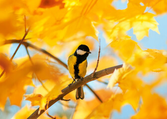 portrait of a songbird tit sitting in an autumn Park among bright Golden maple leaves on a Sunny day