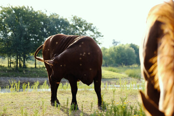Wall Mural - Cow with flies in pasture, summer pest on farm.