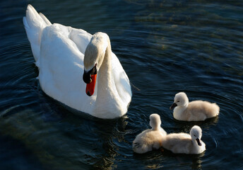 Father Mute Swan guarding three cygnets