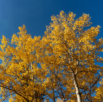 Golden Yellow Aspen Tree Tops Against Clear Blue Sky