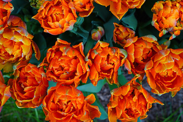 Colorful double orange tulip flowers in the spring garden