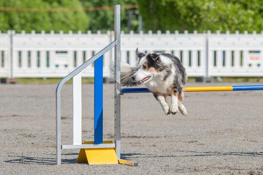 Australian shepherd jumps over an agility hurdle on dog agility course