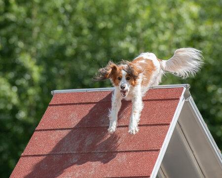Kooikerhondje climbs over an a-frame  on dog agility course