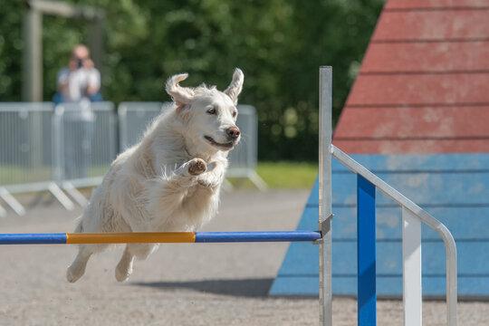 Labrador Retriever jumps over an agility hurdle on dog agility course