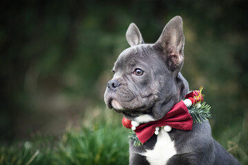 Beautiful young blue French Bulldog dog wearing seasonal Christmas collar with red bow tie on blurry green background