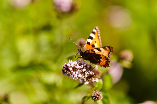 nature and insects concept - small tortoiseshell butterfly in summer garden