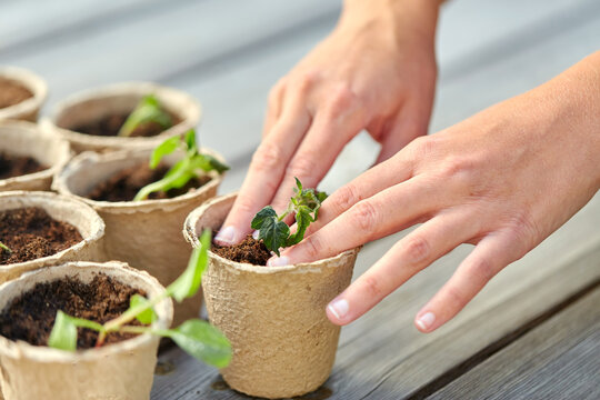 gardening, eco and organic concept - hands and vegetable seedlings in pots with soil on wooden board background