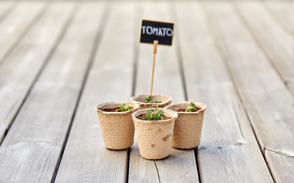 gardening, farming and planting concept - tomato seedlings in pots with name tags on wooden terrace