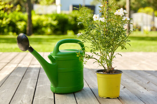 gardening, farming and planting concept - green watering can and dog rose flower seedling in pot on wooden terrace in summer garden