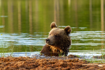 brown bear woods and taiga lakes untouched nature of finland scandinavia europe