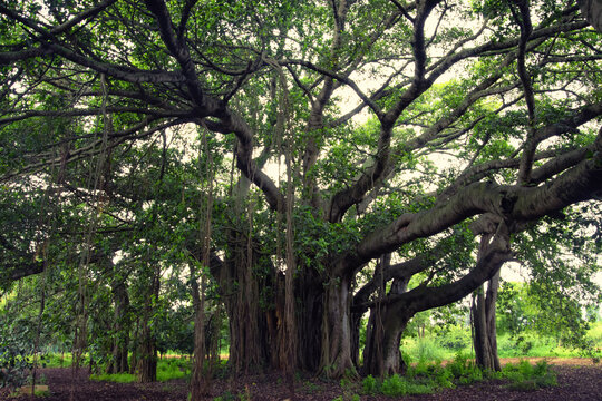 Ficus benghalensis, commonly known as the banyan, banyan fig and Indian banyan, is a tree native to the Indian Subcontinent. Specimens in India are among the largest trees in the world by canopy
