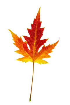 Beautiful colorful yellow red autumn single leaf of Acer saccharinum, commonly known as silver maple isolated on white background