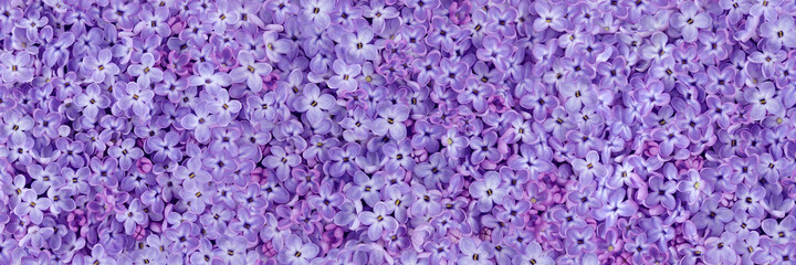 Purple lilac beautiful delicate spring flowers background
