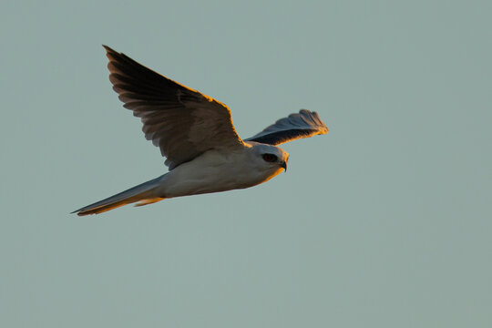 Close-up of a white-tailed kite flying in the wild, seen in beautiful light in North California